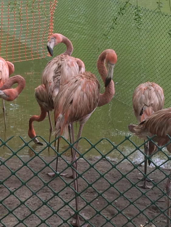 Фламинго.jpeg